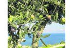 Ledergerben mit Olivenblättern